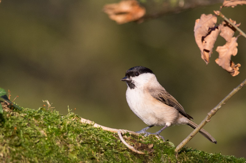 Marsh Tit on a moss covered branch at the RSPB Leighton Moss reserve.