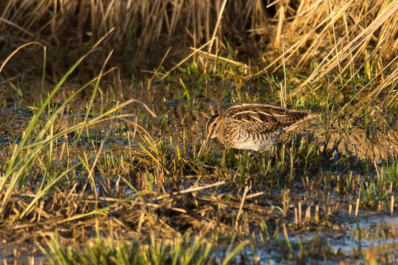 Common Snipe close to the Lower Hide