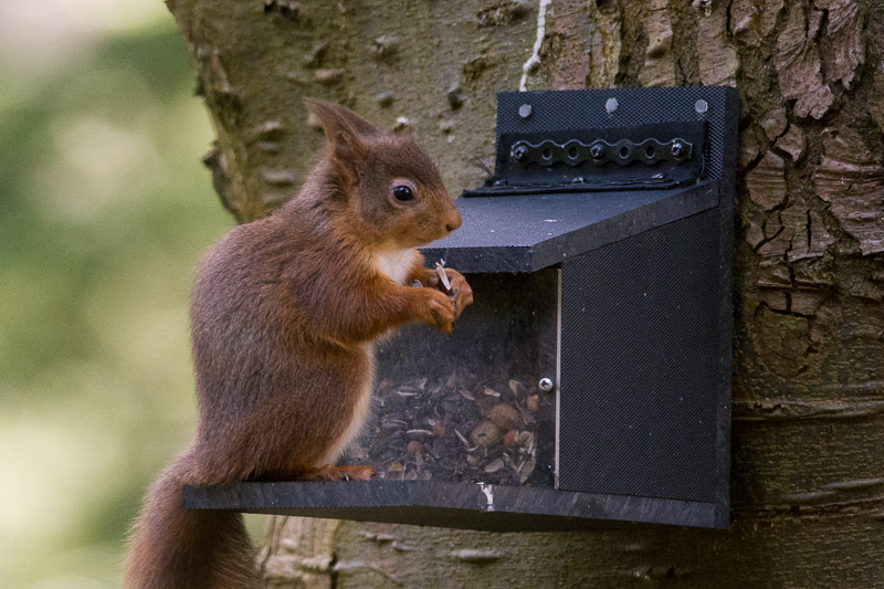 A Red Squirrel at one of the feeders.