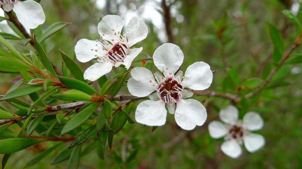 Beneficios del Arbol de Té para la Salud