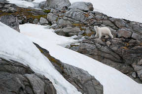A polar bear makes its way across an island