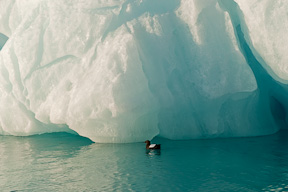 A guillemot fishes at the edges of an iceberg