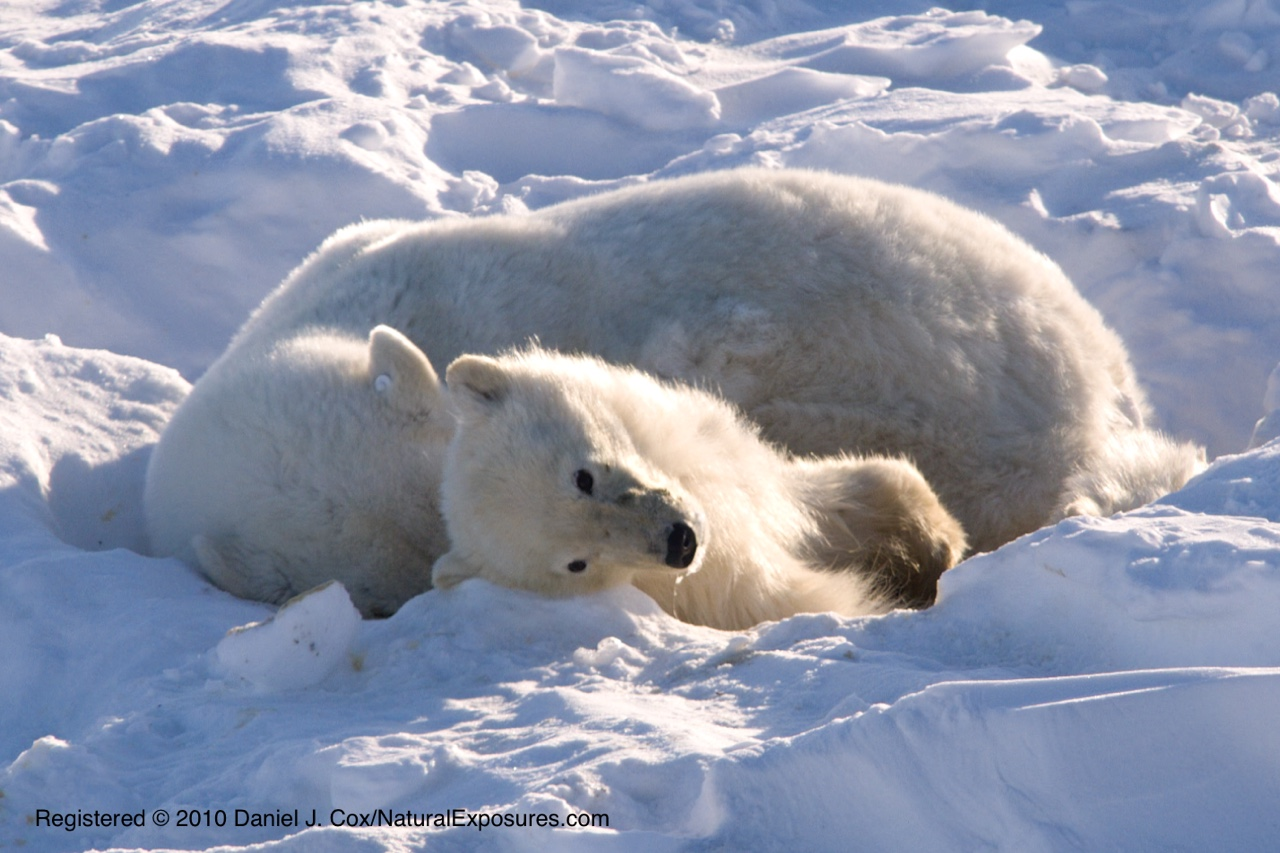 Starving polar bear family, starvation, climate change, global warming, death, dyeing