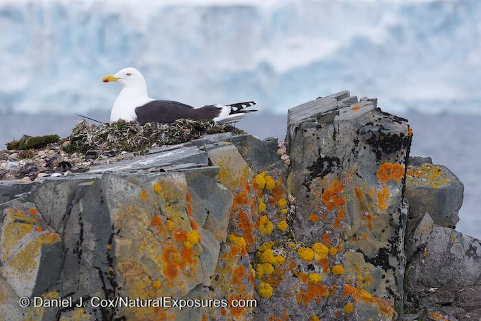 A kelp gull sitting on its nest on Half Moon Island part of the South Shetland Islands, Antarctica