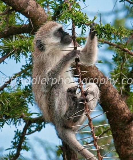 Jeff Nadler's Vervet Monkey photo honored in the top 100 in NANPA photo contest.