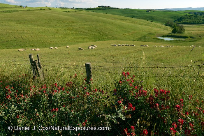 A flock of sheep graze on the colorful Tuscan countryside. Italy