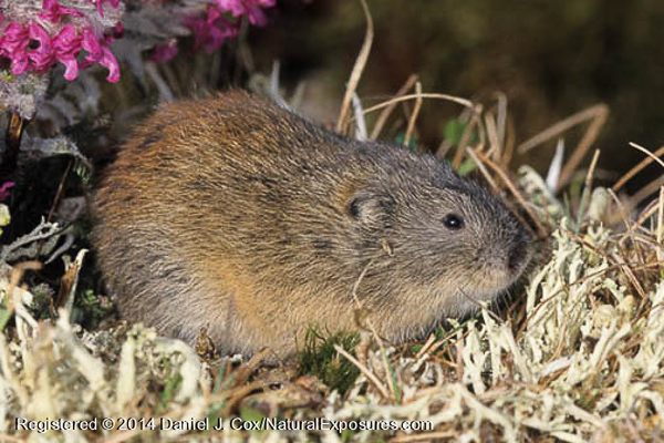 Brown lemming on the tundra. Alaska
