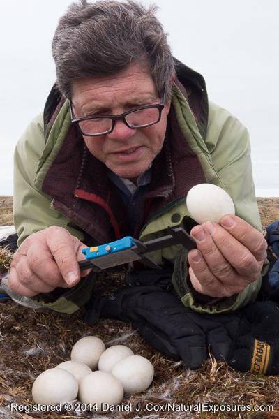 Denver Holt taking measurements of a snowy owl egg. Alaska. .