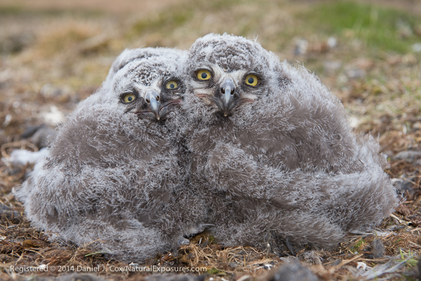 Snowy owl chicks starting to move out on the tundra from nest. Alaska.
