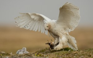 Snowy owl, female flies in to nest with red phalarope. Alaska.