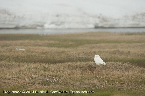 Snowy owl, male sitting on the tundra hunting. Alaska.