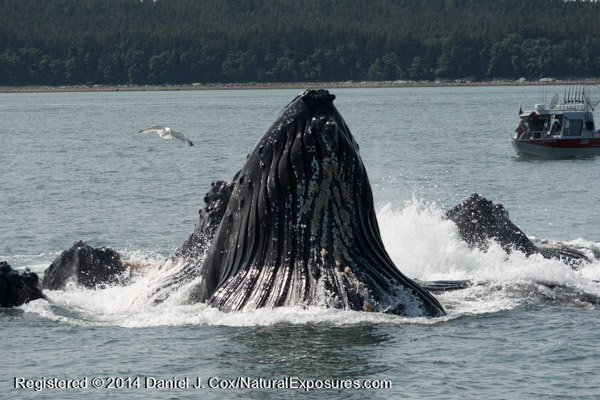 A boat looks on as a group of Humpback Whales finish a bubble net feed. Lumix GH4 with 100-300mm lens