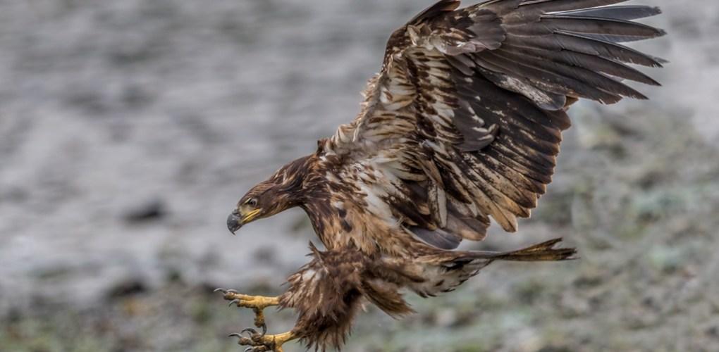 3532 Immature Bald Eagle, Alaska.jpg