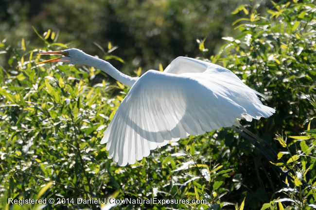 Great Egret, Pantanal, Brazil.