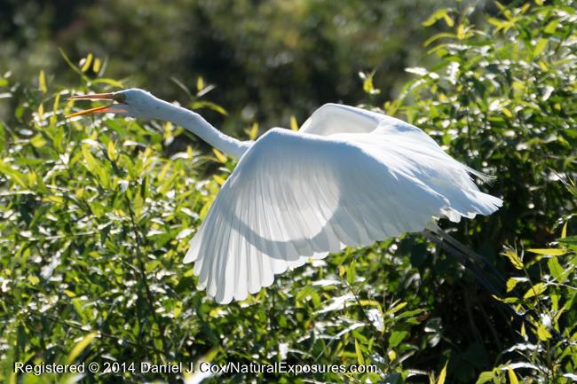 Great Egret, Pantanal, Brazil.