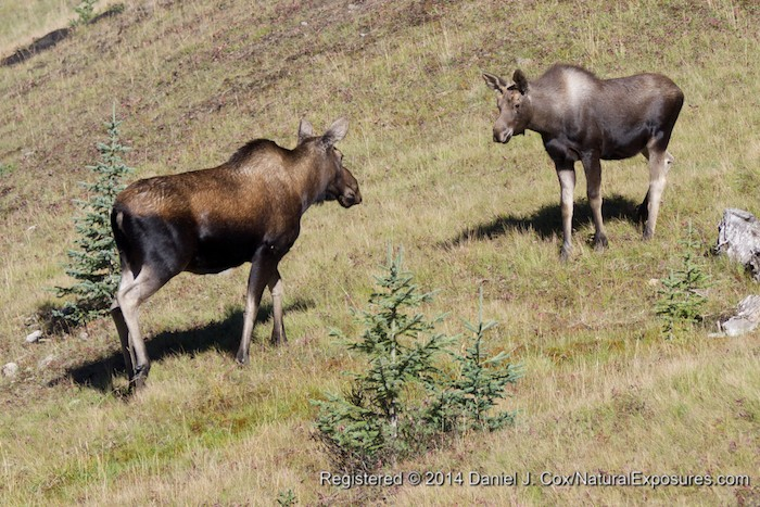 A cow moose comes up the hill to greet her calf. Canadian Rockies, Albert