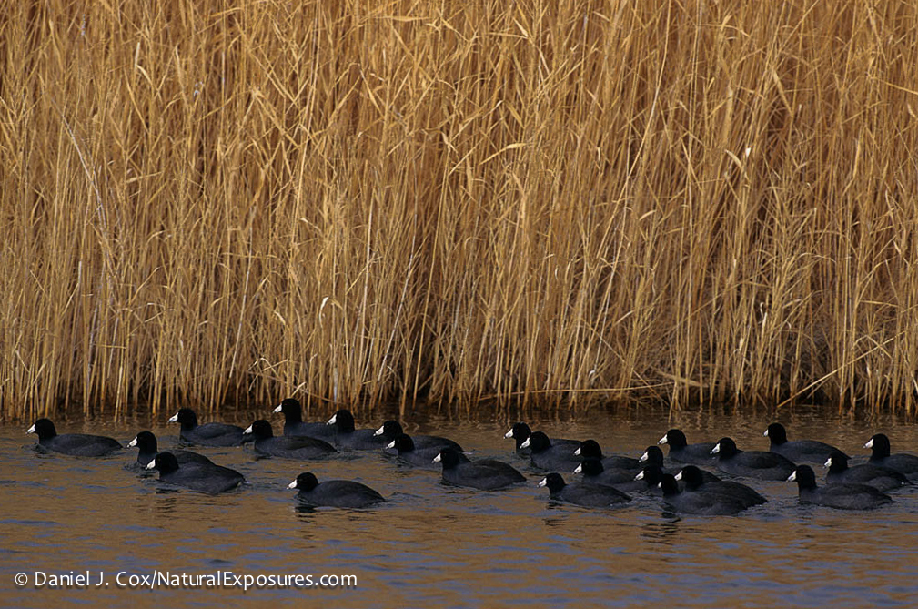 American Coots on the Fish Springs National Wildlife Refuge, California.