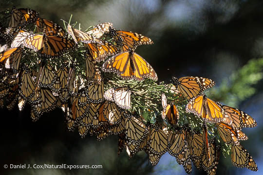 Monarchs like these fooled weather watchers into thinking a storm was headed their way.