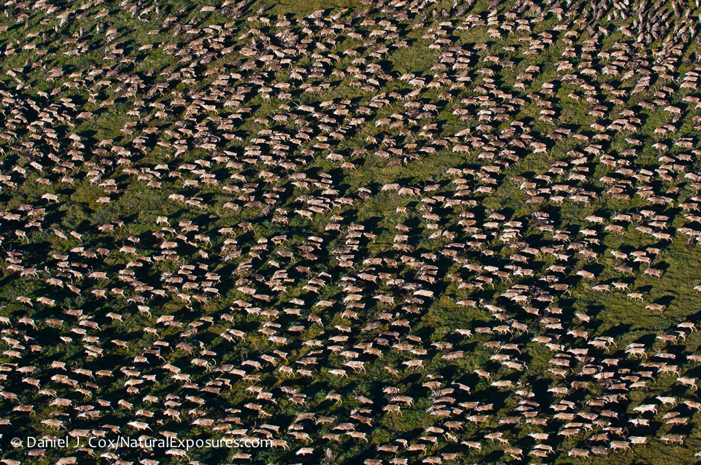 The Porcupine Caribou herd in the valley of the Hulahula River on the Arctic National Wildlife Refuge, Alaska.