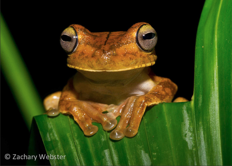 Tree Frog Photo by Zach Webster