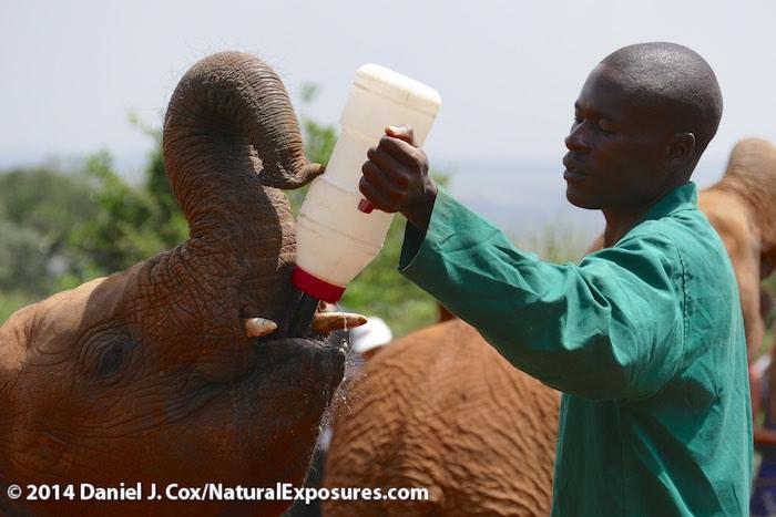 Orphaned baby elephants being fed large bottles of milk at the The David Sheldrick Wildlife Trust elephant Orphaned near Nairobi, Kenya