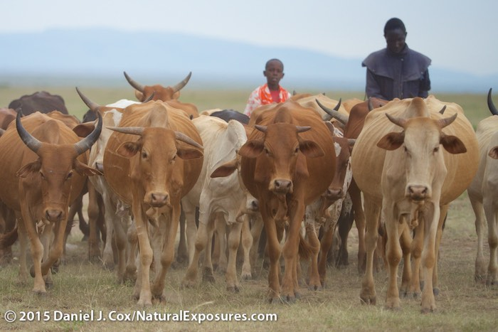 Two young boys herd their cattle through the grasslands of the Masai Mara Game Reserve. Kenya. Lumix GH4, Olympus 40-150mm F/2.8 with 1.4 Teleconverter. ISO 400