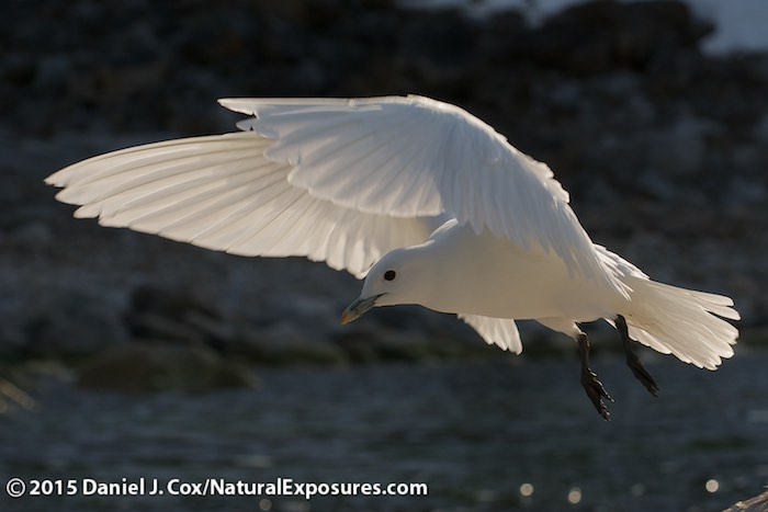 An Ivory Gull comes in on the wind in Svalbard, Norway