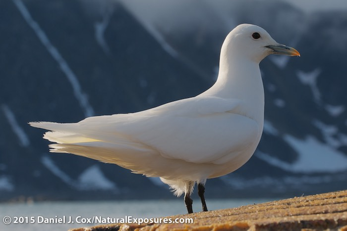 An Ivory Gull perched on the floating remains of a dead whale it was feeding on. Svalbard, Norway