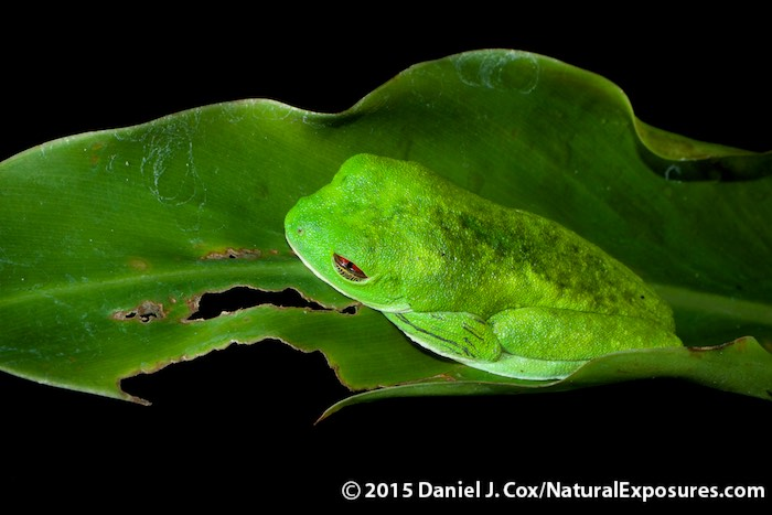 Red-Eyed tree frog. Manuel Antonio National Park, Costa Rica. Lumix GH4, 45mm Macro, FL360 in wireless mode.