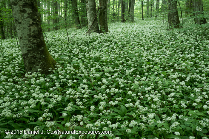 A patch of wild garlic in Plitvice Lakes National Park, Croatia.