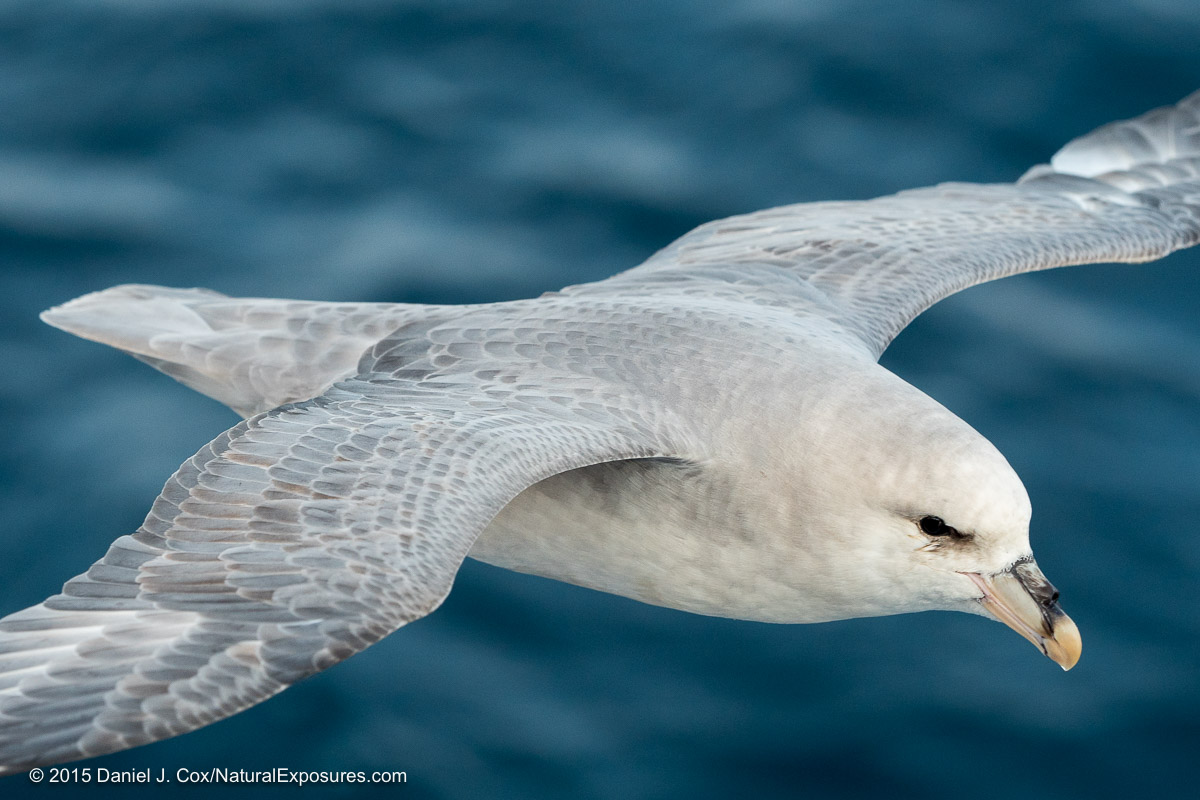 Northern Fulmar, Icy Fjord, Svalbard, Norway.