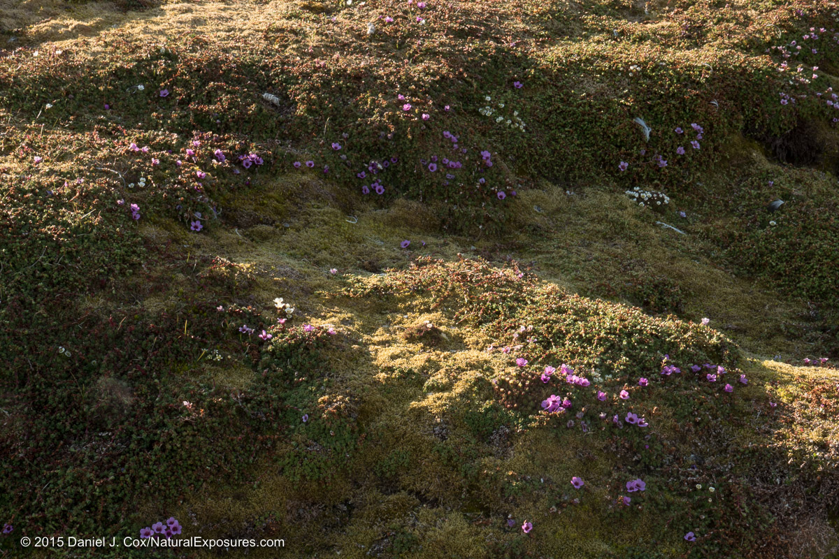 A beautiful carpet of luck green moss and Purple Saxifrage Take on the feeling of three dimensions from the low arctic light. Lumix GH4 with 12-35mm F/2.8