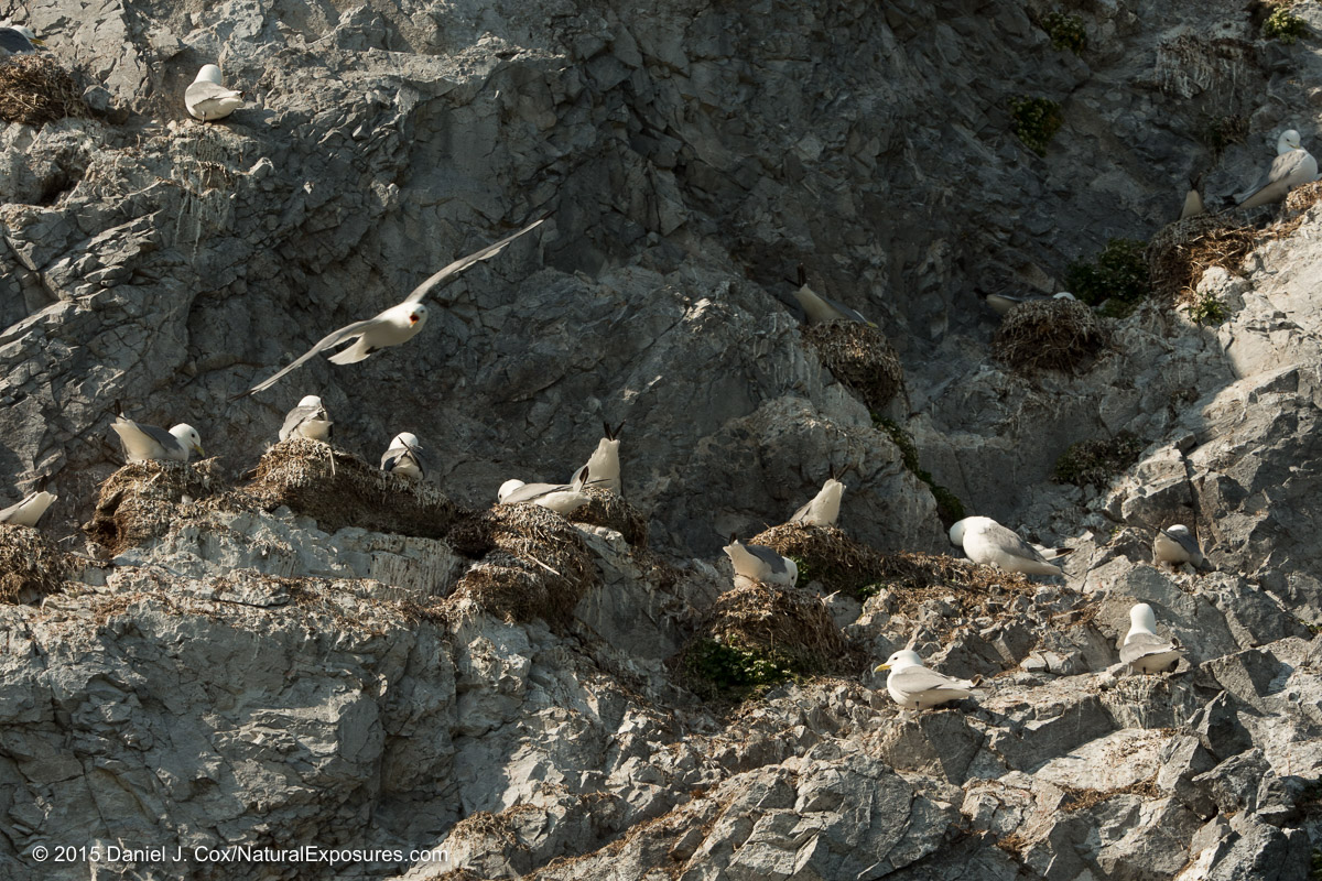 Kittiwakes nesting on the ledges of the steep cliffs. Lumix GH4 with Olympus 40-150mm and 1.4X teleconverter.