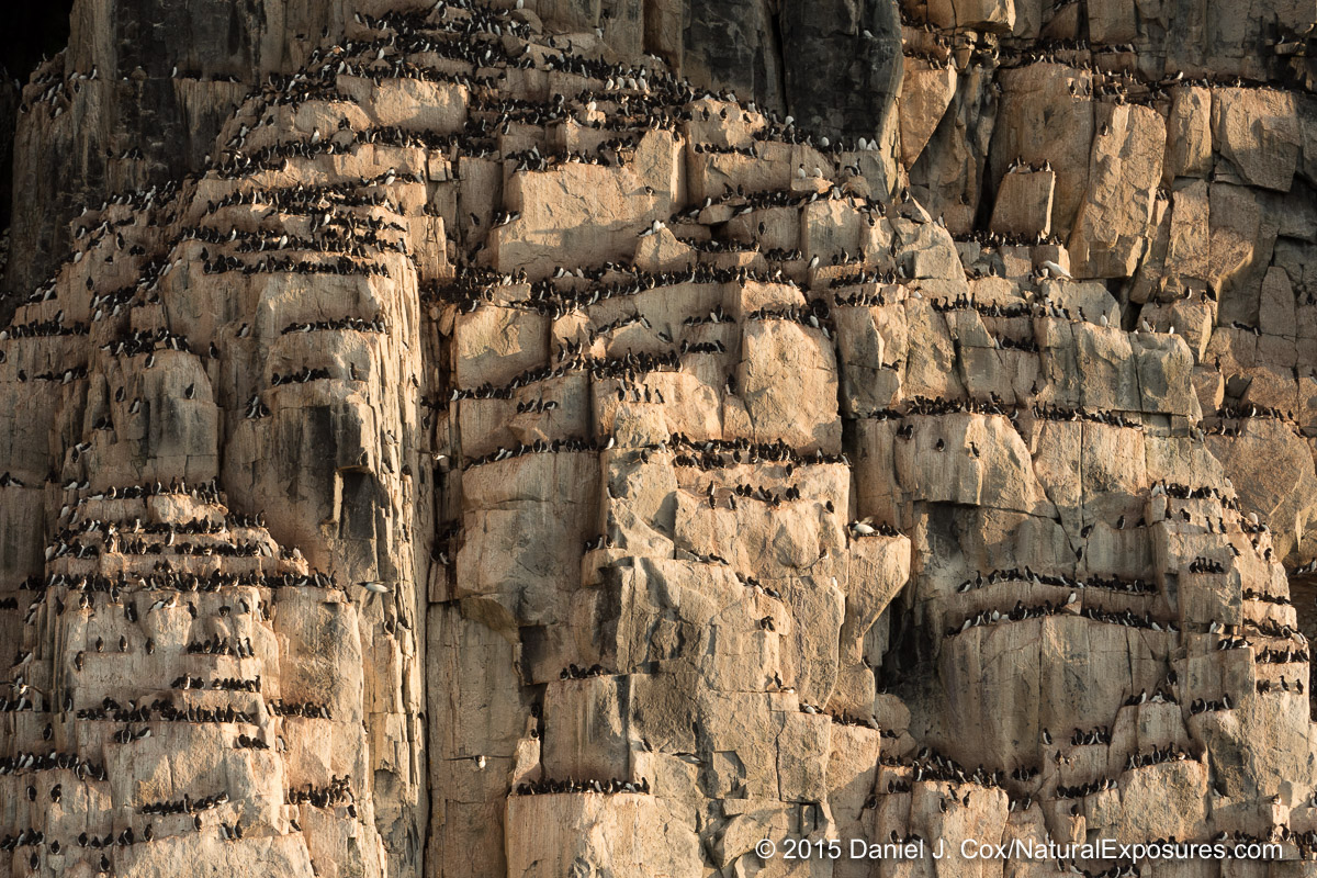 Brunich's guillemots on the cliffs of Alkefjellet. Lumix GH4 with 40-150mm F/2.8 and 1.4X teleconverter