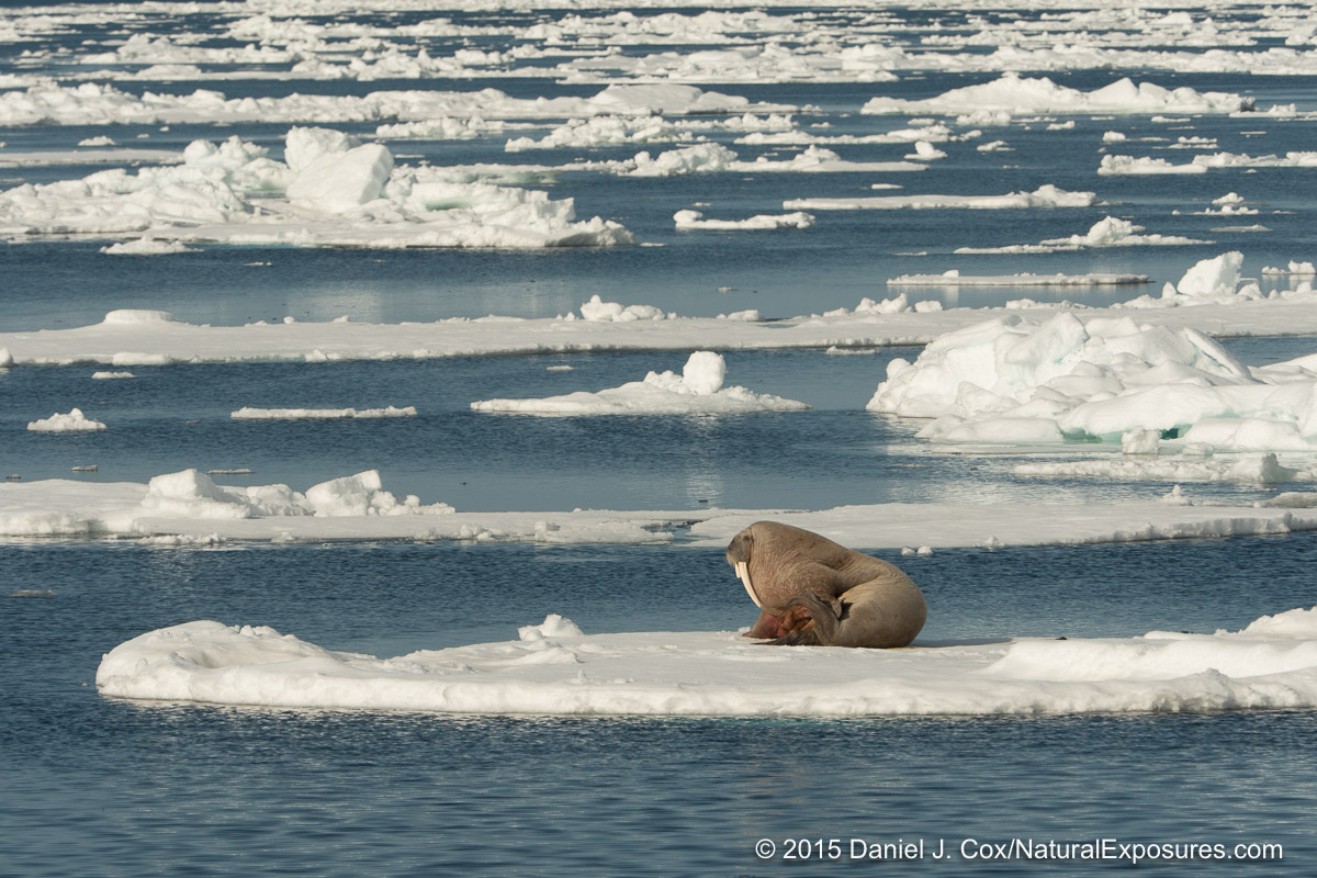 A large male walrus spends time hauled out on a large chunk of ice. Lumix GH4 with 40-150mm F/2.8 with 1.4X teleconverter.