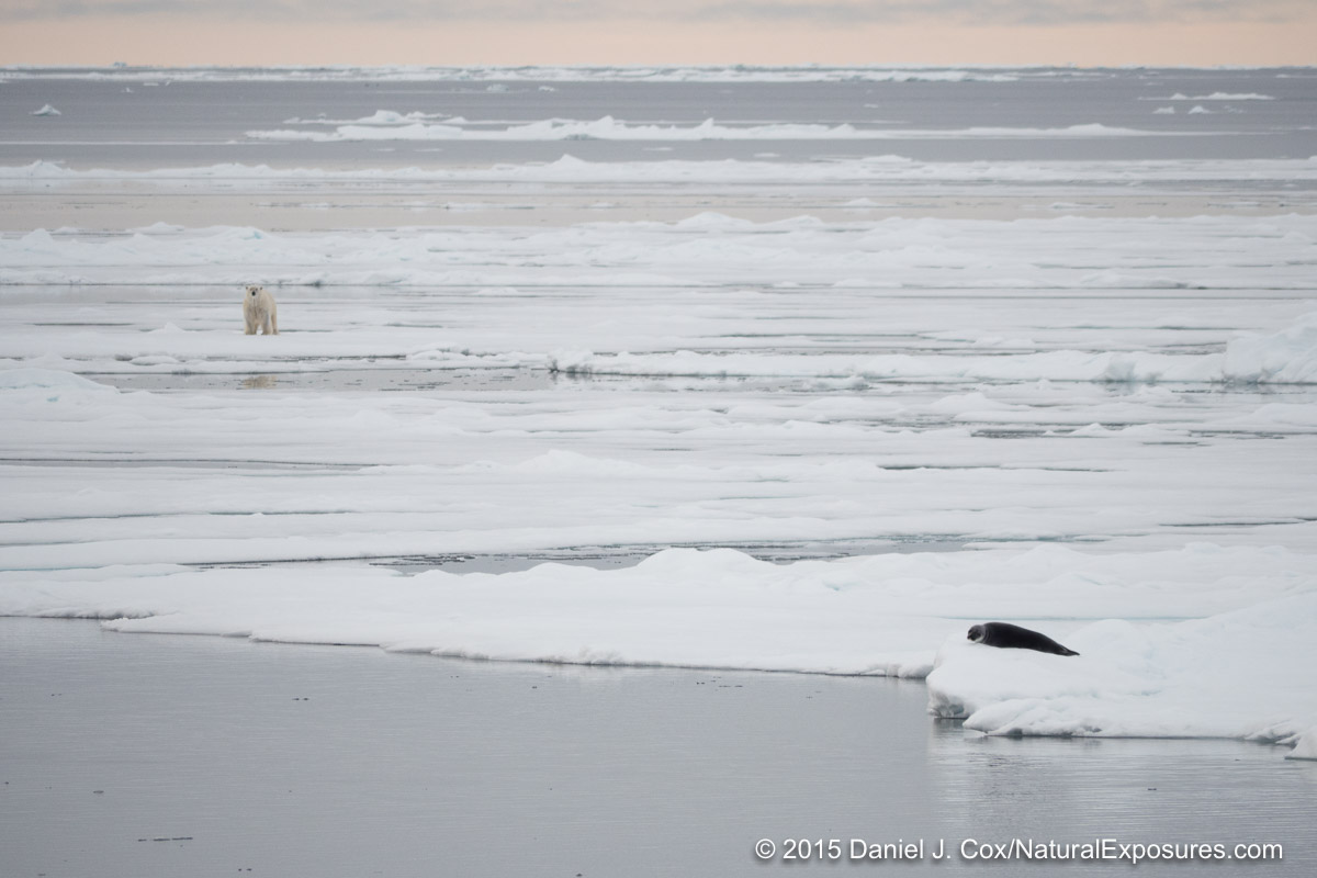 A large male on the ice looks in the direction of a lounging bearded seal on the ice. Nikon D4 with 600mm F/4