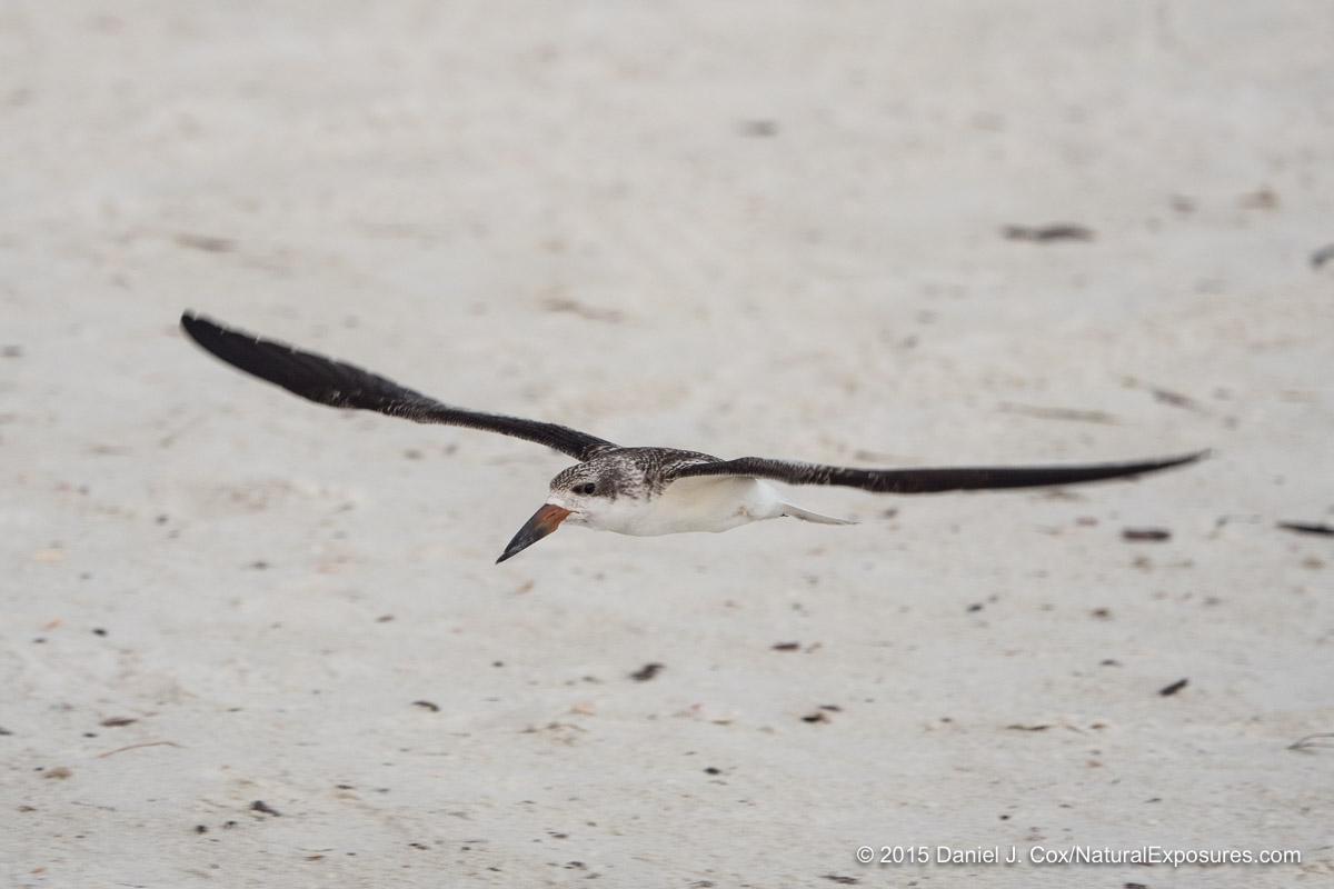 Black Skimmer, Sarasota beach, Florida.