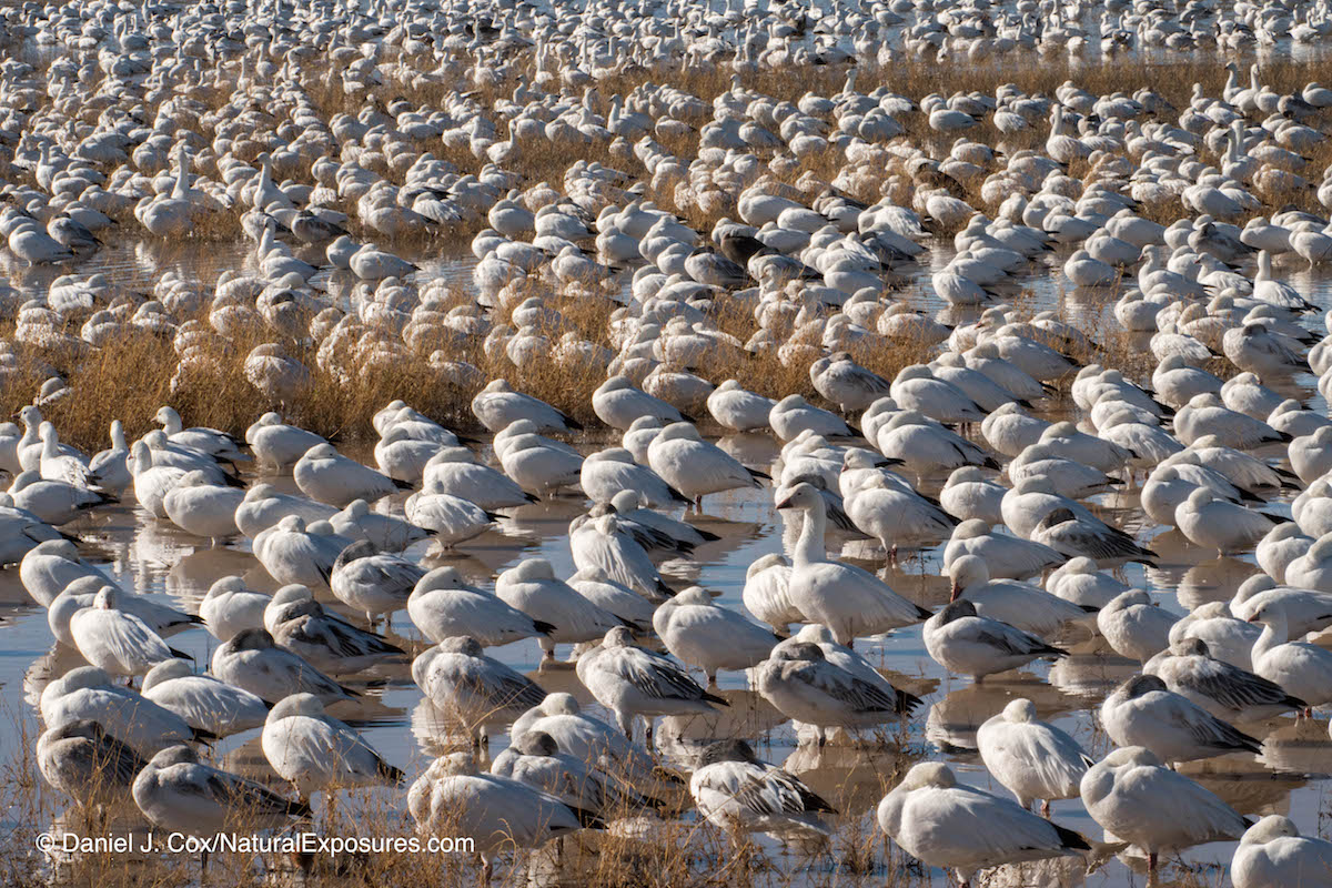 Snow geese resting mid morning. Bosque del Apache NWR. New Mexico. Lumix GX8 with 100-400mm lens. ISO 200