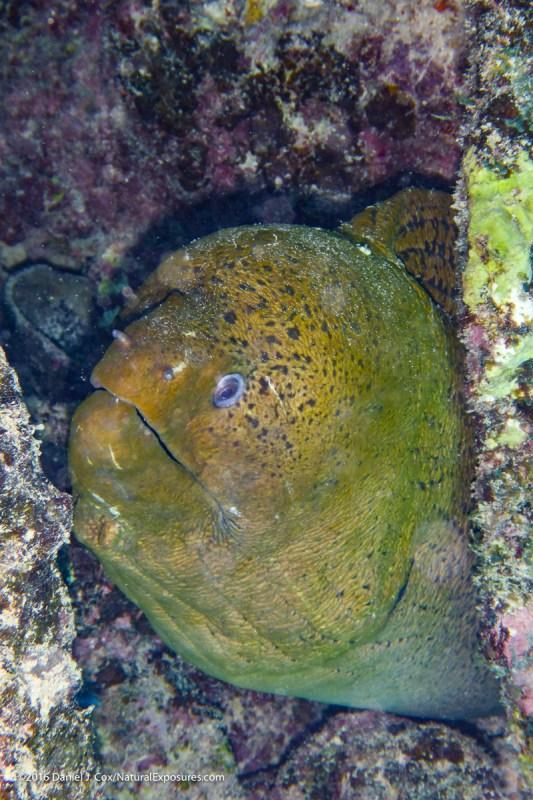 Giant moray eel, Tahatian islands. Lumix TS5 with flash