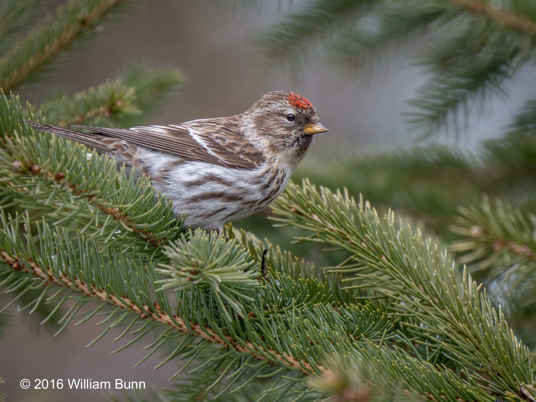 Redpoll, Common-1240615