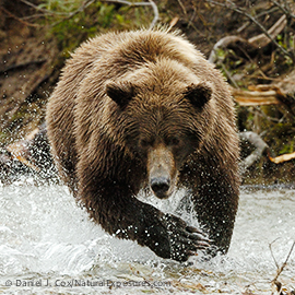 Alaskan Brown Bear (Ursus middendorffi) in Katmai National Park, Alaska.
