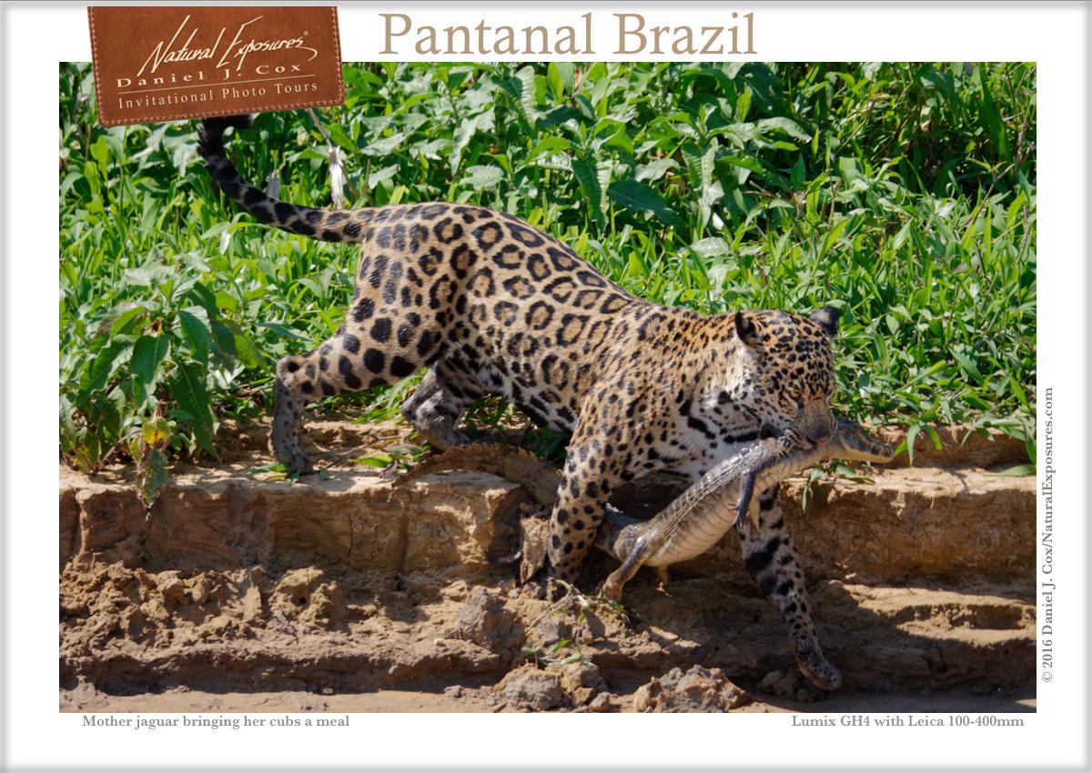 Facebook IPT jaguar & caiman