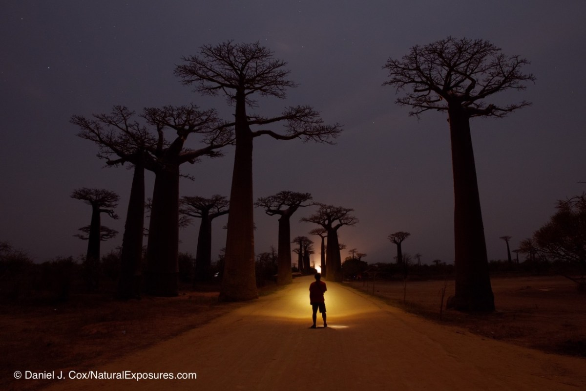 In he dark in the Alley of the Baobabs. Madagascar
