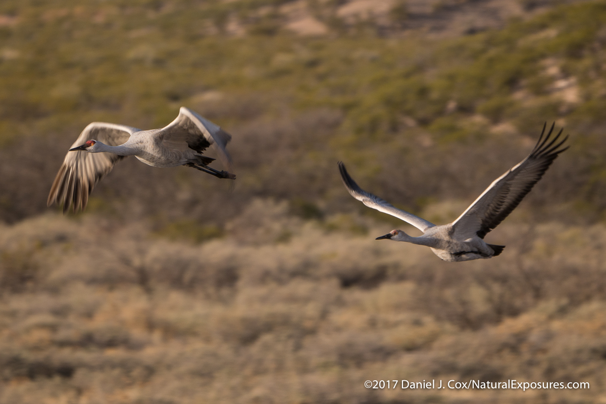 A pair of sandhill cranes lift off from the small lake and head out to feed. Photo shot with the Olympus OM-D EM-1 Mark ll and the Leica 100-400mm zoom.