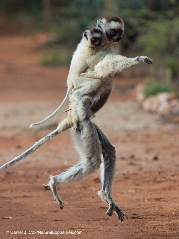 "6ab9542e54f Verreaux s sifaka mother in typical ""dancing"" posture as she moves across a  dirt road with her baby clutching to hear back"