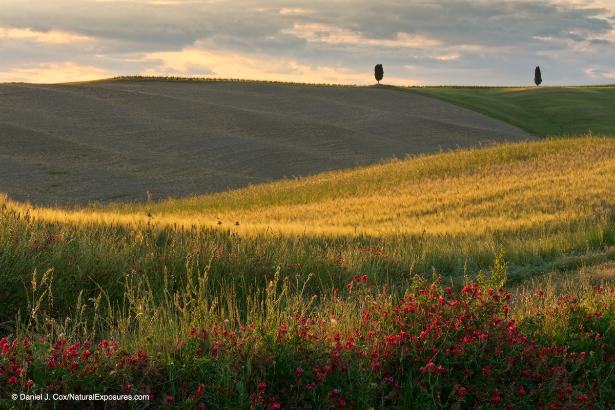 Beautiful evening light bathes the rolling hills and wheat fields of Tuscany, Italy
