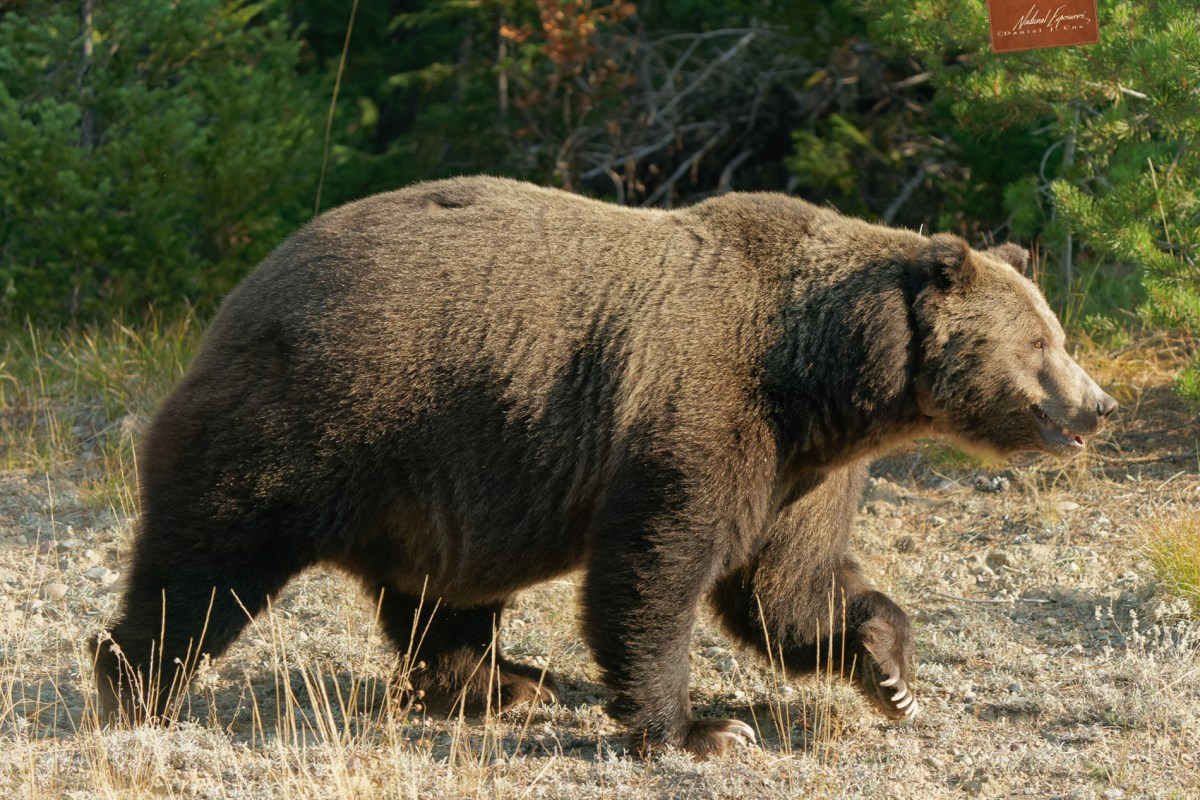 Large male grizzly in Grand Teton National Park, Wyoming. Sony A9 with 200-600mm