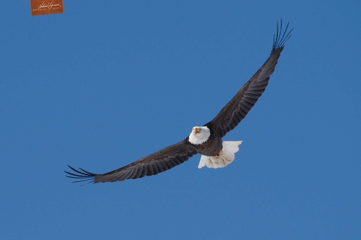 Bald eagle fling against a bright blue sky. Olympus E-M1X and the 150-400mm zoom