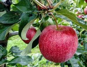 Manzano árbol, cultivo, hojas y flores