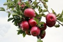 Foods to eat with stomach flu: Image of apples on the tree